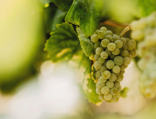 Variedades blancas de los vinos de Grandes Pagos de España