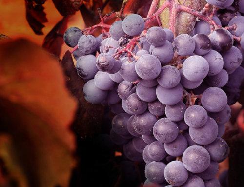 Variedades de Uvas Tintas en Grandes Pagos de España