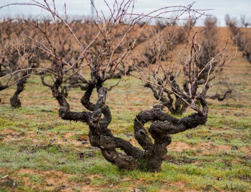 La Poda en Vaso: Claves para poder volver a tener viñedos longevos