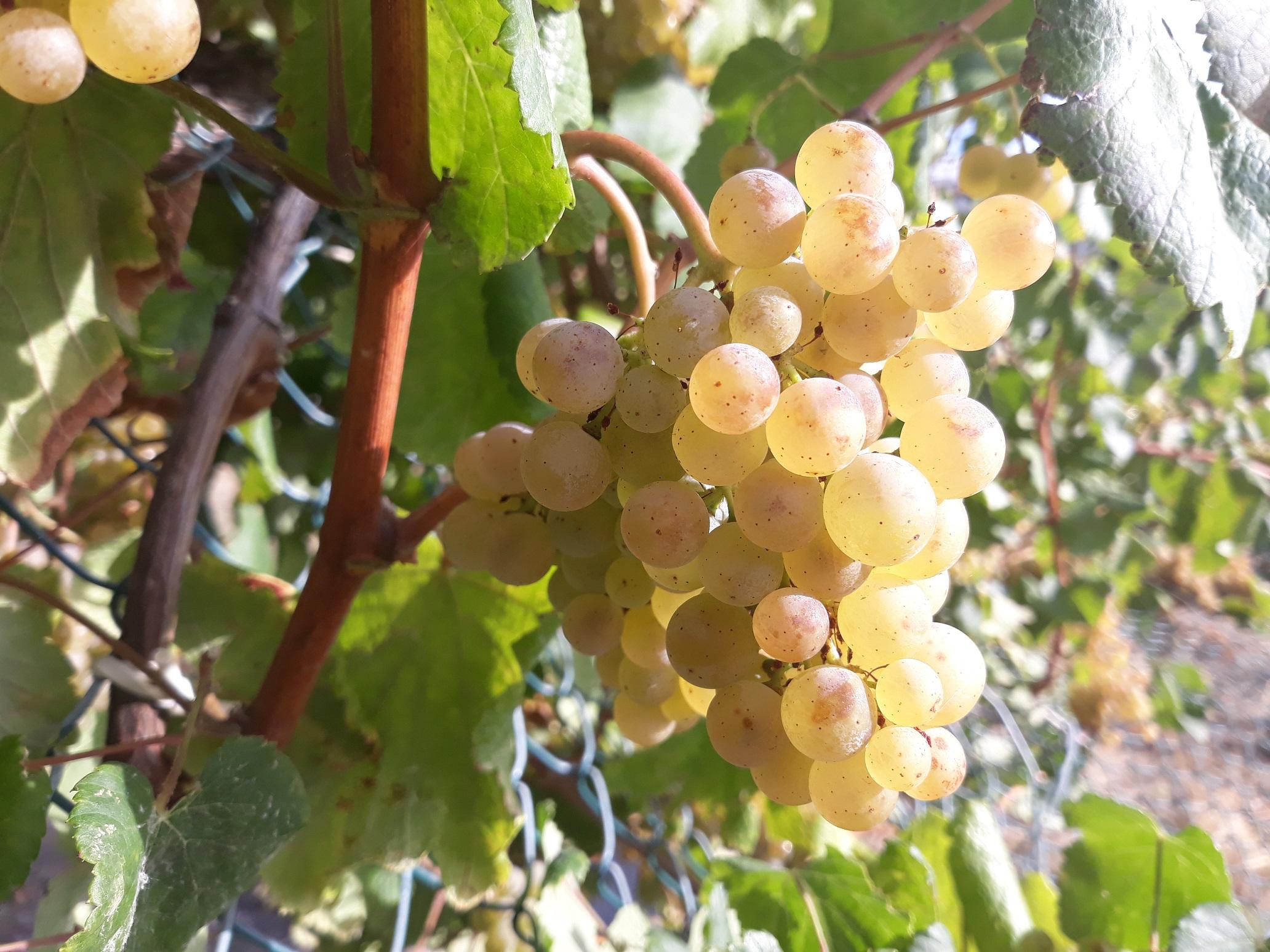 Rácimo uva Albariño madura