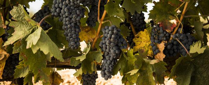 Abadía Retuerta uva madura